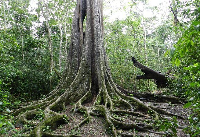 Rabongo forest