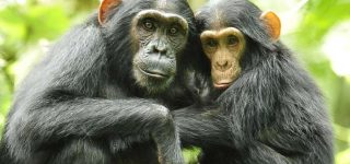 chimpanzee tracking in budongo forest