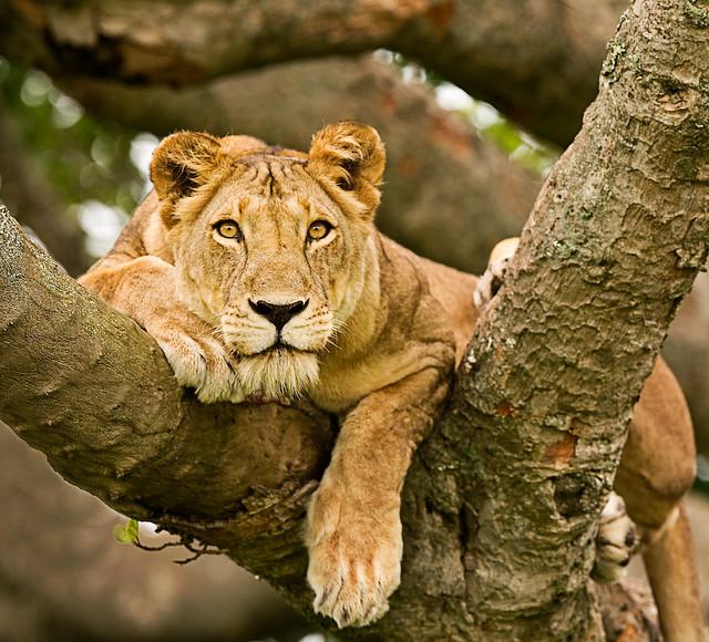 8 Days Uganda safari, gorillas, chimpanzee and wildlife