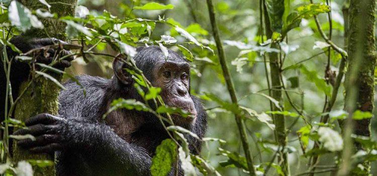 Murchison falls national park chimpanzee trekking