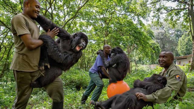 senkekwe gorilla ophanage