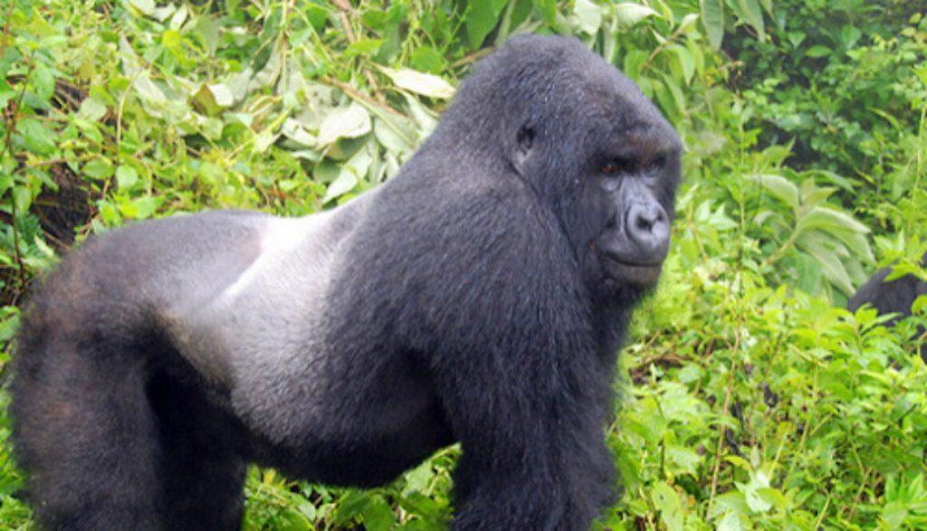 5 Days Gorilla Habituation and Chimpanzee Trekking Safari from Kigali