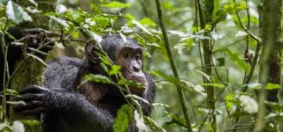 2 Days Chimpanzee Trekking in Budongo Forest