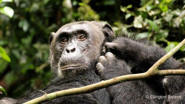 5 Days Murchison Wildlife and Chimpanzee trekking Safari