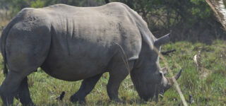 4 Day Ziwa Rhino Trekking and Murchison falls park Safari