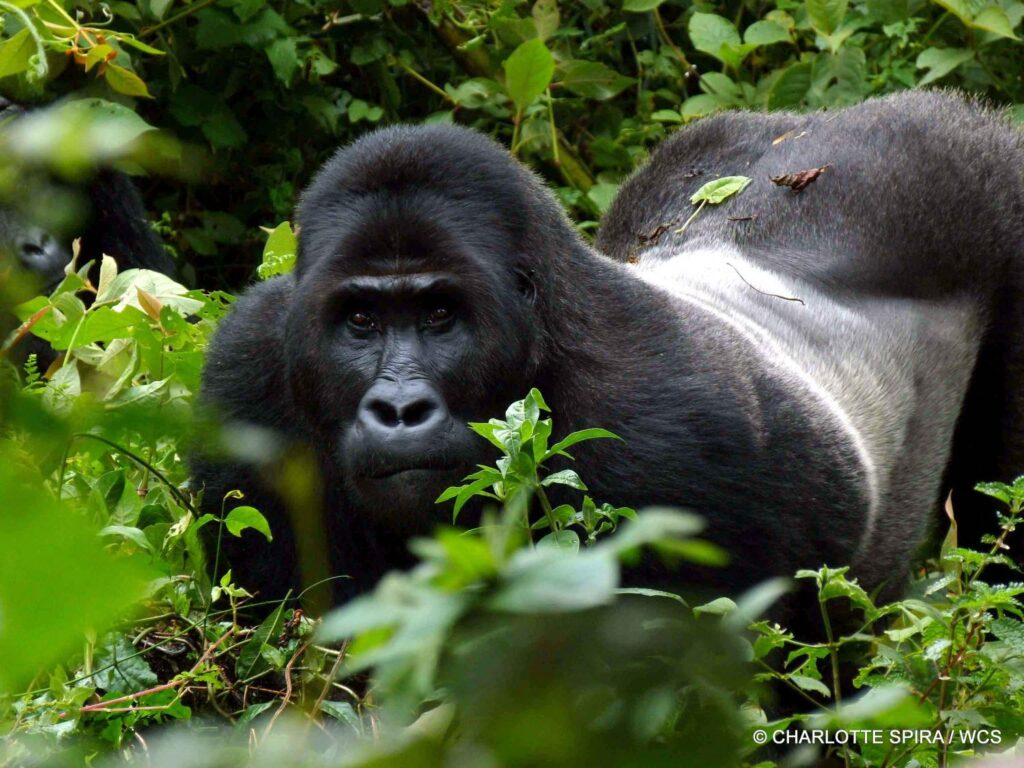 5 Days Uganda Flying Wildlife and Gorilla trekking Safari