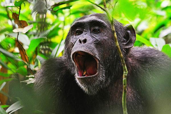 Chimpanzee Safari