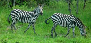 5 Days Lake Mburo and Queen Elizabeth Wildlife Safari