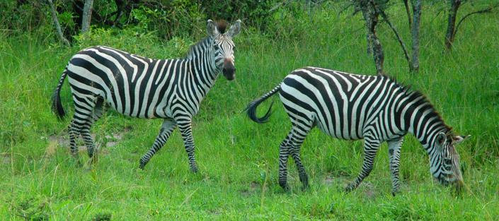 5 Days Lake Mburo and Queen Elizabeth Wildlife Safari