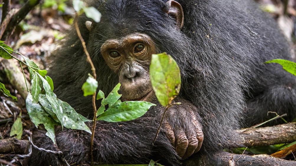 7 Days Uganda wildlife and primates safari