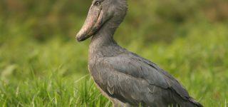Shoebill Stork Bird in Uganda