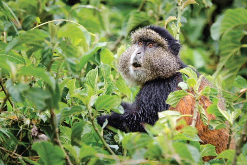 Golden monkey trekking in Mgahinga gorilla national park